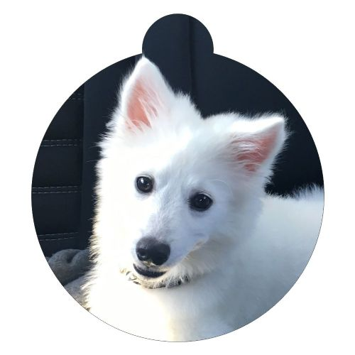 American Eskimo Dog Picture ID tag